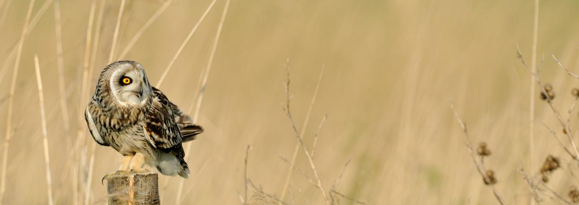 hibou des marais