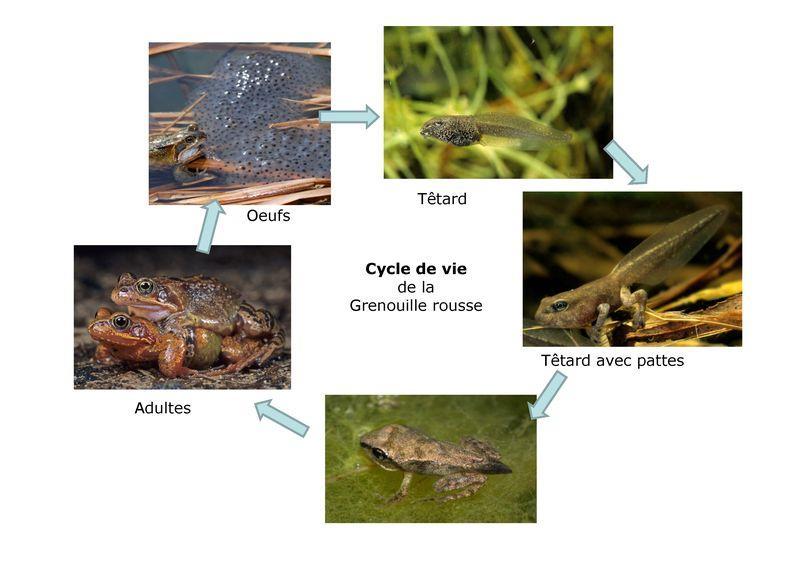 Cycle de vie de la grenouille rousse (Photos : Stéphane Vitzthum)