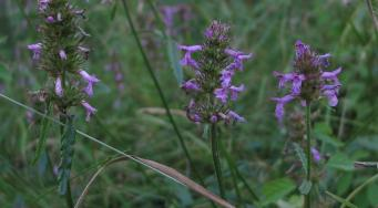 Bétoine officinale