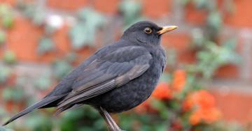 Les oiseaux de vos jardins natagora - Natagora oiseaux de nos jardins ...